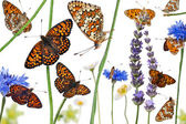 Pastoral composition of Knapweed Fritillary, Melitaea phoebe, on — Stock Photo