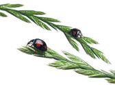 Joaninhas asiáticas, ou joaninha japonesa ou a joaninha arlequim, harmonia axyridis, na planta, na frente de fundo branco — Foto Stock