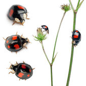 Asian lady beetles, or Japanese ladybug or the Harlequin ladybird, Harmonia axyridis, composition on plants in front of white background — Stock Photo