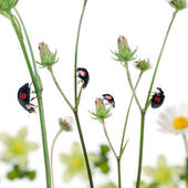 Asian lady beetles, or Japanese ladybug or the Harlequin ladybir — Stock Photo