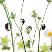 Joaninhas asiáticas, ou joaninha japonesa ou o arlequim ladybir — Foto Stock