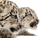 Snow leopards, Uncia uncia or Panthera uncial, 2 months old, in front of white background — Stock Photo