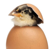 Chick, Gallus gallus domesticus, 3 days old, in egg in front of white background — Stock Photo