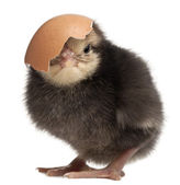 Chick, Gallus gallus domesticus, 3 days old, with eggshell in front of white background — Stock Photo