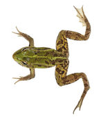 Edible Frog, Rana esculenta, in front of white background — Stock Photo