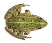 High angle view of Common European frog or Edible Frog, Rana esculenta, in front of white background — Stock Photo