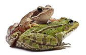 Common European frog or Edible Frog, Rana esculenta, and a Moor — Stock Photo