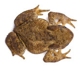 High angle view of Common toad or European toad, Bufo bufo, in front of white background — Stock Photo