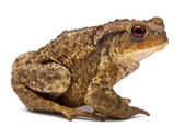 Common toad, bufo bufo, in front of white background — Stock Photo