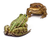 Common European frog or Edible Frog, Rana kl. Esculenta, facing a common toad or European toad, Bufo bufo, in front of white background — Stock Photo