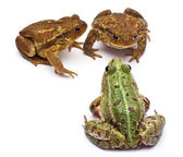 Common European frog or Edible Frog, Rana kl. Esculenta, facing common toads or European toads, Bufo bufo, in front of white background — Stock Photo