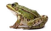 常见的欧洲青蛙或食用蛙,蛙 kl。菌,在白色背景前 — 图库照片