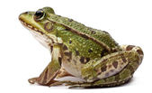 Common European frog or Edible Frog, Rana kl. Esculenta, in front of white background — 图库照片