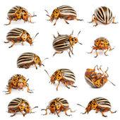 Composição de besouros de batata de colorado, também conhecido como o besouro do colorado, o spearman dez-listrado, o besouro de batata de dez-alinhado ou o bug de batata, leptinotarsa decemlineata, na frente de backgro branco — Foto Stock