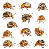 Composition of Colorado potato beetles, also known as the Colorado beetle, the ten-striped spearman, the ten-lined potato beetle or the potato bug, Leptinotarsa decemlineata, in front of white backgro — Stock Photo
