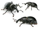 Composição de besouros, liparus dirus, larva em frente fundo branco — Foto Stock
