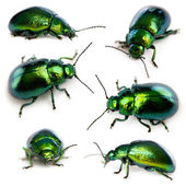 Composition of Leaf beetles, Chrysomelinae, in front of white background — Stock Photo