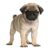 Pug, 8 weeks old, standing in front of white background — Stock Photo
