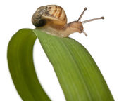 Garden snail on leaf, Helix aspersa, in front of white background — Stock Photo