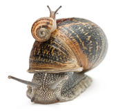 Garden snail with its baby on its shell in front of white background — Stock Photo