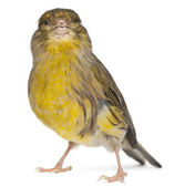 Atlantic Canary, Serinus canaria, 2 years old, in front of white background — Foto de Stock