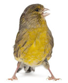 Atlantic Canary, Serinus canaria, 2 years old, in front of white background — Stok fotoğraf
