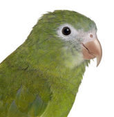 Close-up of White-winged Parakeet, Brotogeris versicolurus, 5 years old, in front of white background — Stock Photo