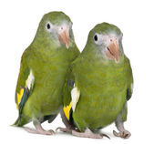 White-winged Parakeets, Brotogeris versicolurus, 5 years old, in front of white background — Stock Photo