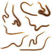 Collage of centipedes in front of white background — Stock Photo