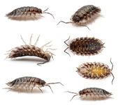 Collage of Common woodlouse, Oniscus asellus, in front of white background — Stock Photo