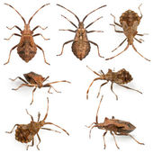 Dock bugs, Coreus marginatus, species of squash bug, in front of white background — Stock Photo