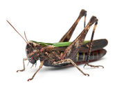 Cricket in front of white background — Stock Photo