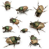 Besouros do scarab - sp onthophagus, na frente de fundo branco — Foto Stock