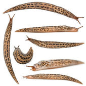 Leopard slug - Limax maximus, in front of white background — Stock Photo