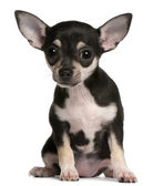 Chihuahua puppy, 3 months old, sitting in front of white background — Stok fotoğraf