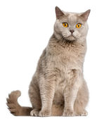 British Shorthair cat, 2 years old, sitting in front of white background — Stock Photo