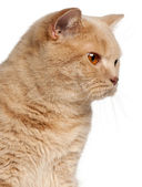 Ginger British Shorthair cat, 1 year old, headshot in front of white background — Stock Photo