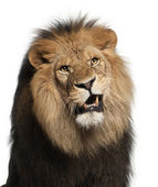 Close-up of lion, Panthera leo, 8 years old, in front of white background — Stock Photo
