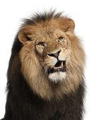 Primer plano del león, panthera leo, 8 años de edad, frente a fondo blanco — Foto de Stock