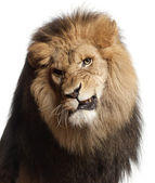 Close-up of lion snarling, Panthera leo, 8 years old, in front of white background — Stock Photo