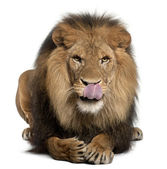 Lion licking lips, Panthera leo, 8 years old, in front of white background — Stock Photo