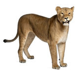 Lioness, Panthera leo, 3 years old, standing in front of white background — Stock Photo