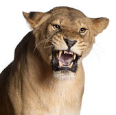 Lioness, Panthera leo, 3 years old, snarling in front of white background — Stock Photo