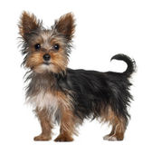 Yorkshire Terrier puppy, 8 weeks old, standing in front of white background — Stock Photo