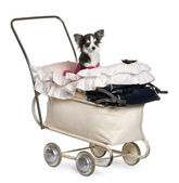 Chihuahua, 1 year old, in baby stroller in front of white background — Stock Photo