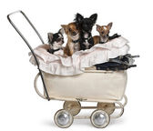 Four Chihuahuas sitting in baby stroller in front of white background — Stock Photo