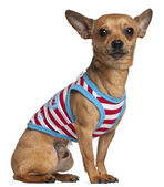 Chihuahua in striped shirt, 2 years old, sitting in front of white background — Stock Photo