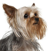 Close-up of Yorkshire Terrier, 1 year old, in front of white background — Stock Photo