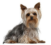Yorkshire Terrier, 1 year old, lying in front of white background — Stock Photo