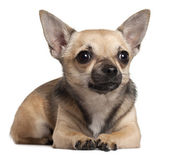 Chihuahua lying in front of white background — Stok fotoğraf